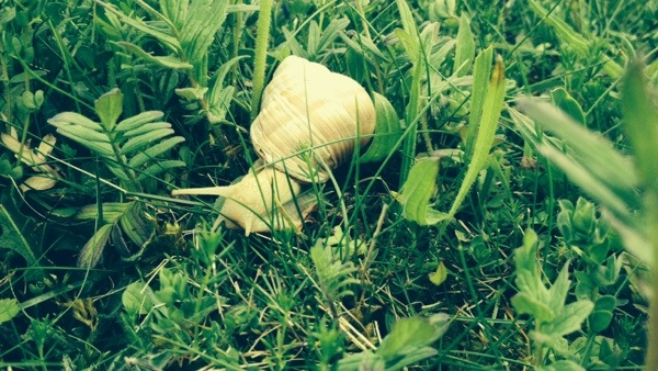 Large Snail at Coploe Hill Pit