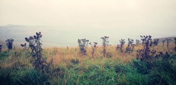 Misty Thistles
